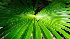 Mexican Fan Palm (Classicpixel (Eric Galton) Photography Portfolio) Tags: mexico mexique fan palm palmier plante plant nature green vert tropical tropique ericgalton classicpixel mexicanpalmtree sony nex6 new6
