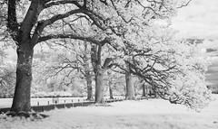 (Attila Pasek) Tags: nikond70s avenue bw blackandwhite converted infrared tree