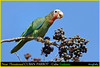 (Species #1234b) Near Threatened CUBAN PARROTS   -   [ Zapata National Park, Cuba ] (tinyfishy's World Birds-In-Flight) Tags: amazona leucocephala cuban parrot cuba rose throated