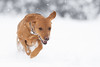 'Winter Games' (Jonathan Casey) Tags: dog snow lab labrador red fox yeollow winter play chase nikon d850 200mm vr f2