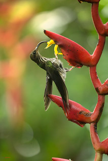 White-tipped sicklebill (Eutoxeres aquila) hummingbird feeding from heliconia flowers.