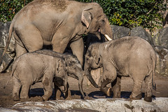 Back to normality (JKmedia) Tags: asian elephant boultonphotography 2018 february chesterzoo close animal trunk indian hiwayherd baby calf dirty soil sand brown sibling drinking pool water curly