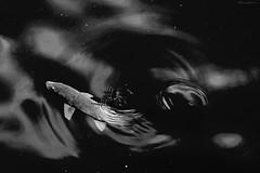 Luciobarbus sclateri (lagunadani) Tags: blancoynegro pez pesca pescado peces barbo luciobarbussclateri animal pantano embalse presa camarillas hellin albacete