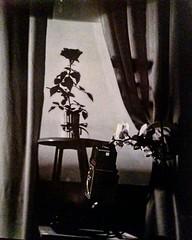 Ritratto del fotografo (gabriele.ciriello) Tags: shenhao ilford rollei rolleiflex fp4 rosa rose flowers fiore fiori largeformat analogicait