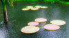 Lily pads (kate willmer) Tags: water rain pond pool lily plant tree botanical garden singapore