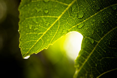 2018-081 Droplet (Michael_Soliman) Tags: 2018 leaf plant year7 macro flora project365 waterdroplet