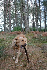 Lexi's stick of the day (BurnThePlans) Tags: woods forest trees nature outdoors walk scotland highlands dog labrador