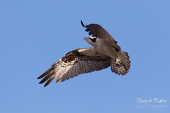 Male Osprey landing sequence - 7 of 28