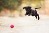 flying Lotti (Aleksandra Kielreuter - Fotografie) Tags: gelb puppy dog fetch ball jumping