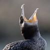 Great cormorant (Andy Davis Photography) Tags: phalacrocoraxcarbo mulfran lake perched basking preening yawning portrait beak water backlit canon