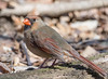 Northern Cardinal, female. (Cardinalis cardinalis) (mack100) Tags: northerncardinal centralpark