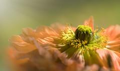 Mohnblüte (blancobello) Tags: mohn poppy blüte blossom macro 100mm