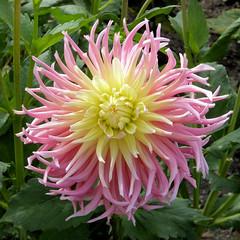 Willkommen Sommerzeit! (Gertrud K.) Tags: flowers macro dahlia asteraceae pink yellow