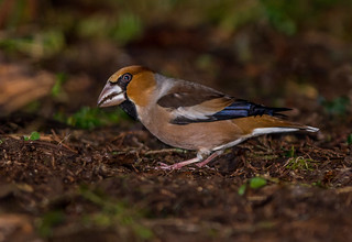 JWL8671  Hawfinch..