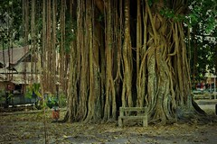 "INDONESIEN, Java,  Alter Ficus-Baum am Tempel Candi Mendut,  17274/9789 (Text. Pic Monkey) (roba66) Tags: reisen travel explorevoyages urlaub visit roba66 asien südostasien asia eartasia ""southeastasia"" indonesien indonesia ""republikindonesien"" ""republicofindonesia"" indonesiearchipelago inselstaat java ficus textur texture effecte nature natur naturalezza baum bäume tree trees arbes arboles alberi"