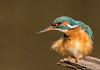Gefiederpflege(Alcedo atthis)©Arne Flemke (Arne Flemke-Gezeiten Photography) Tags: bremen eisvogel kingfisher wümme wümmewiesen blockland