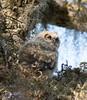 Baby Greated Horned Owl (Gatorgirl51) Tags: great horned owl baby nikon 7100 sleepy