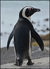 The Codfather (Vide Cor Meum Images) Tags: mac010665yahoocouk markcoleman markandrewcoleman videcormeumimages vide cor meum south africa penguin boulder beach attitude boulders simons town