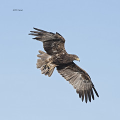 Tawny Eagle (Dark Morph) (featherweight2009) Tags: tawnyeagle aquilarapax eagles raptors birdsofprey flight birds africa