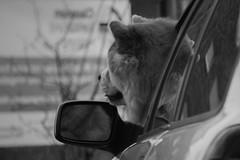 Cruising II (Eric Spies) Tags: hund dog mirror spiegel rückspiegel rearview aussenspiegel autofahrer car driver auto fahrer pkw fujifilm fuji fujinon xt10 xc 50230 monochrom mono monochrome bw sw schwarzweiss street deutschland germany fenster windschutzscheibe xc50230 blackwhite blackandwhite rearviewmirror chowchow chow