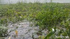 Rain on grass (Ahmed N Yaghi) Tags: grass rain water stream running clear winter green soil grow plants life gaza city drops