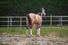 Pure Mystery (PhotOw'graphie) Tags: stallion etalon horse cheval angloarabe isabelle extérieur verte vert nature