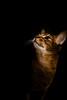 Luke (Katherine Ridgley) Tags: toronto torontocat portrait catportrait pet petportrait abyssinian abyssiniancat ruddyabyssinian ruddy usualabyssinian usual maleabyssinian malecat male cat cats purebred purebreed purebredcat felissilvestriscatus felissilvestris feliscatus felis felidae feliformia carnivore carnivora mammal mammalia animal animalia feline domesticcat housecat