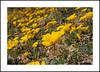 Nine Mile Canyon Wildflowers (AussieinUSA) Tags: california 2018wildflowers 2018 wildflowers ninemilecanyon inyocounty californiapoppy eschscholziacalifornica bigelowcoreopsis leptosynebigelovii