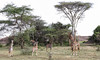 The Curious Family (AnyMotion) Tags: giraffe giraffacamelopardalis tree trees baum bäume landscape landschaft landschaftsaufnahmen 2018 anymotion serengetisouth kusini tanzania tansania africa afrika travel reisen animal animals tiere nature natur wildlife 6d canoneos6d ngc npc