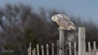 Snowy Owls of New Jersey | 2018 - 25