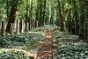 Land of Ivy (Torsten Reimer) Tags: ivy path grabsteine newjewishcemetery graves czechrepublic europa tschechien czechia cemetery bäume trees gravestones graveyard prag grabmal europe friedhof prague cz
