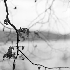 last old leaves (my analog journey) Tags: 500cm mediumformat 120 homedeveloped d76stock filmlover filmshooter bnw blackwhite movformatcom hassselblad laachersee shore forest naturallight nature branches filmdev:recipe=12231 ilfordfp4125 kodakd76 film:brand=ilford film:name=ilfordfp4125 film:iso=80 developer:brand=kodak developer:name=kodakd76