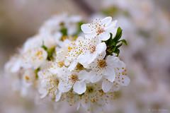 (Alin B.) Tags: alinbrotea nature spring april flower blossom cherry plum scent