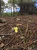 O chão da floresta (aulasdeviolino) Tags: narciso narcissusspp daffodil