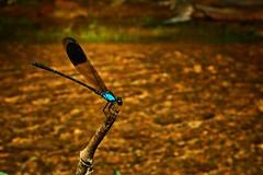Blue-sided Satinwing (Euphaea Impar), Singapore (singaporebugtracker) Tags: singaporebugtracker uncommondamselfly damselfliesofsingapore stream perch blacktip veined dim blacktippedflashwing markedwings waterway creek bluesidedsatinwing euphaeaimpar odonata