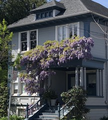 Wrapping up the Wisteria Coverage. . . . (Melinda Stuart) Tags: house classical porch wisteria glycine vine spring purple blossoms hanging climbing flowers domestic berkeley garden botany wistar