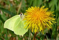 Citron (zogt2000 (No Video)) Tags: citron papillon butterfly
