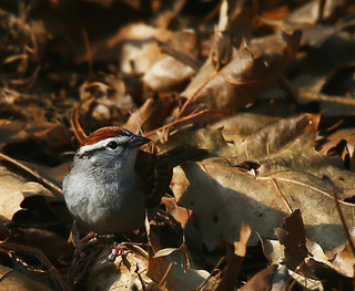 Chipping-sparrow-47w