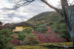 Golden Views (DanaMichelle309) Tags: fallfoliage goldenpavilion japan kinkakuji kyoto shrine travel kyōtoshi kyōtofu jp