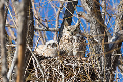 Mama keeps watch while owlets rest