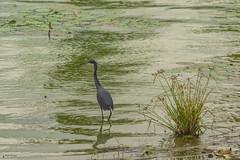 AIRONE    -----    HERON (Ezio Donati is ) Tags: natura nature acqua water paludi swamps animali animals uccelli birds africa costadavorio yamoussoukro areadeslacs fiori flowers