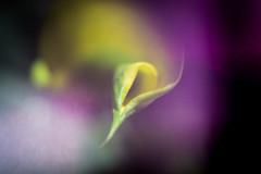 Calla Lily (judy dean) Tags: garden judydean freelensing velvet56 flowers lensbaby calla lily yellow
