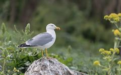 Yellow-legged Gull (tickspics ) Tags: yellowleggedgull birds gulls europe gibraltar upperrockreserve britishoverseasterritory laridae larusmichahellis therock