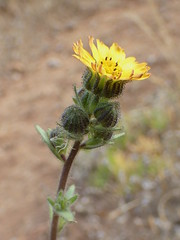 Madia (L'herbier en photos) Tags: composées asteraceae compositae astéracées madia tarweed madi valparaiso chili valparaíso chile laguna verde nt1201