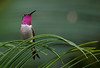 Amethyst Woodstar - estrelinha-ametista (Calliphlox amethystina) (Gabriel Büll) Tags: estrelinhaametista calliphloxamethystina amethystwoodstar sigma150600mmsport nikond750 wildlifesouthamerica wildlife nationalgeographicwildlife animalplanet avesdobrasil birdwatching birds hummingbird