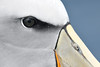 Albatross close up (adbecks) Tags: nz kaikoura albatross encounters wildlife birds pelagic new zealand nikon d500 300pf tc