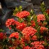 D21417E7 - Tropical Flowers on Roatan (Bob f1.4) Tags: tripical flowers red bunch garden infinity bay resort west beach roatan hondoras island caribbbean sea