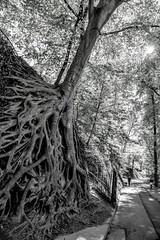 Greenville, South Carolina (Jon Ariel) Tags: sc southcarolina greenville bw blackandwhite trees tree root park