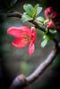 Chaenomeles (judy dean) Tags: 2018 judydean stowonthewold flowers garden quince japonica chaenomeles
