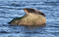 HARBOR SEAL in Staten Island, New York, USA. April, 2018 (Tom Turner - NYC) Tags: pinniped phocavitulina mammal seal commonseal harbourseal harborseal animal nature wildlife tomturner statenisland bigapple unitedstates newyork nyc usa marine coast rock